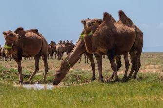 Kamele, ein häufiges Bild in der Mongolei