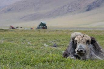 Yaks im Khangai Gebirge
